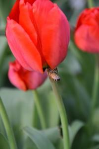 Hm, er det ikke snyd at gå ind fra siden på tulipanen?