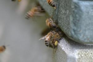 Bierne ankommer til stadet med pollenbukser - de ses både i gul, rød, blå, grøn, orange osv. osv. - afhængig af hvilken blomst bien har besøgt