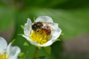 Jordbær er også lækkert - vi skal jo forberede til honninghøsten i foråret!